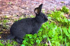 野生动物本质上,在草的黑兔子 库存照片