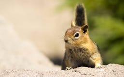 野生动物花栗鼠在观看室外风景的岩石站立 免版税图库摄影