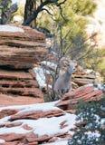 野生动物高山石山羊哨兵保护的带侧面 免版税库存照片