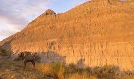 野生动物高沙漠大角野绵羊男性对Ram 免版税库存图片
