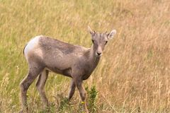 野生动物高沙漠大角野绵羊男性Ram年轻人 免版税图库摄影