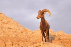 野生动物高沙漠大角野绵羊男性Ram 库存图片