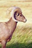野生动物高沙漠大角野绵羊男性Ram 免版税库存图片
