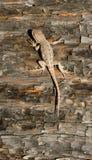 野生动物鼠尾草蜥蜴森林爬行动物剌蜥蜴树graciosus 免版税库存图片