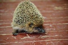 野生动物Altaya 库存图片