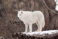 野生北极狼在木日志站立 在野生生物的动物 极性狼或白狼 库存照片