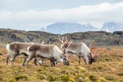 野生北极驯鹿牧群在自然环境里 库存图片