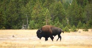 野生北美野牛/水牛城在跟踪射击的黄石国家公园 股票录像