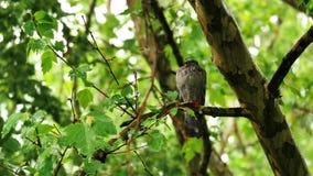 野生原鸽在夏天雨中 影视素材