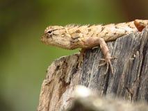 野生变色蜥蜴 库存照片