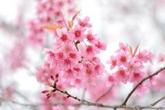 野生喜马拉雅樱桃在冬天 免版税库存图片
