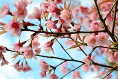 野生喜马拉雅樱桃开花充分开花的树 库存图片