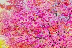 野生喜马拉雅樱桃的绘画水彩桃红色红颜色和秀丽春天 库存图片