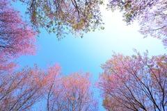 野生喜马拉雅樱桃,有蓝色Sk的桃红色樱花框架  免版税库存图片