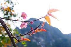 野生喜马拉雅樱桃,花 库存图片