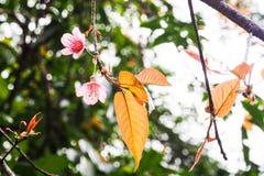 野生喜马拉雅樱桃,花 库存照片