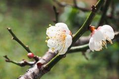 野生喜马拉雅樱桃,花 免版税库存照片