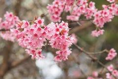 野生喜马拉雅樱桃,花 免版税图库摄影