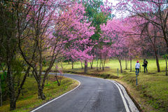 野生喜马拉雅樱桃(泰国的佐仓) 库存图片