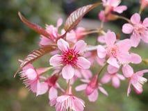野生喜马拉雅樱桃 库存图片