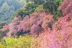 野生喜马拉雅樱桃 免版税库存照片