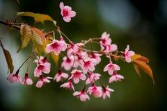 野生喜马拉雅樱桃 库存照片
