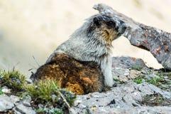 野生土拨鼠在它的自然生态环境,不列颠哥伦比亚省 免版税图库摄影