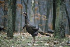野生土耳其母鸡,孤立麋公园, MO 库存图片