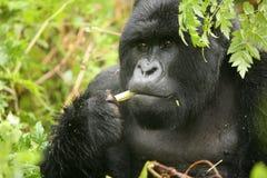 野生大猩猩动物卢旺达非洲热带森林 免版税库存图片