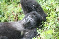 野生大猩猩动物卢旺达非洲热带森林 图库摄影