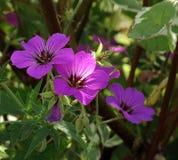 野生大竺葵在起斑纹的树荫和阳光下开花 库存图片