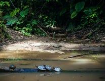 野生大鳄鱼和乌龟在厄瓜多尔人阿马佐尼亚, Misahualli 库存照片