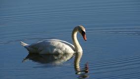 野生天鹅,在湖的天鹅, 免版税库存照片