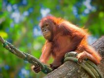 野生婆罗洲猩猩 免版税库存照片