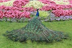 野生孔雀在庭院里 免版税库存照片