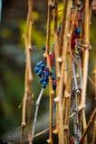 野生小蓝色莓果 库存照片