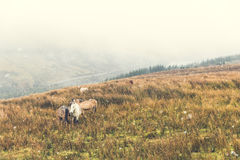 野生小马在雪期间的乡下猛冲 免版税库存图片