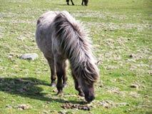 野生小马在Dartmoor德文郡英国 库存照片