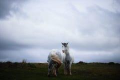 野生小马,在威尔士山 库存照片