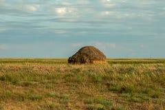 野生小麦的小尖峰 免版税库存图片