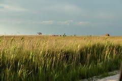 野生小麦的小尖峰 免版税库存照片