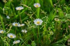 野生小麦耳朵和雏菊特写镜头在草坪中间开花在公园在波隆纳 库存照片