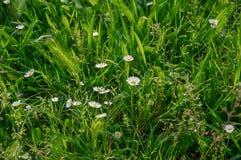 野生小麦耳朵和雏菊特写镜头在草坪中间开花在公园在波隆纳 免版税库存照片