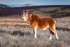 野生山小马在英国 免版税图库摄影