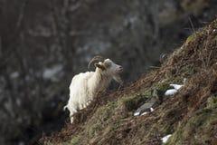 野生山羊,铁罐, nannay,搜寻的孩子,吃草在一个岩石倾斜在Cairngorm国家公园,苏格兰在冬天期间在2月 免版税库存照片