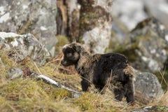 野生山羊,铁罐, nannay,搜寻的孩子,吃草在一个岩石倾斜在Cairngorm国家公园,苏格兰在冬天期间在2月 库存照片