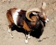 野生山绵羊Mouflon -牧群动物 库存照片