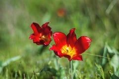 野生干草原郁金香的领域在一个晴天 红色野生Schrenk郁金香 免版税库存图片