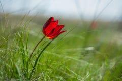 野生干草原郁金香的领域在一个晴天 红色野生Schrenk郁金香 库存照片