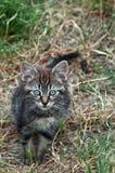野生平纹小猫垂直格式 免版税库存图片